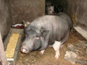 Fermierii riscă să rămână fără bani pentru porcine