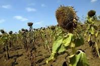 Sălăjenii aşteaptă bani pentru terenurile agricole afectate de secetă