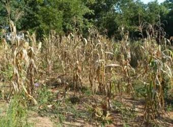 Seceta şi mistreţii fac ravagii în agricultura sălăjeană