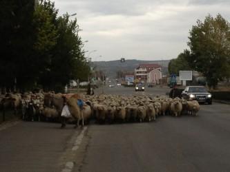 """Turmele de oi """"pasc"""" pe bulevardul Zalăului"""