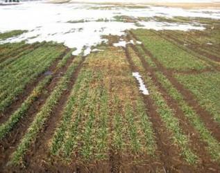 Inundaţiile nu au afectat culturile agricole