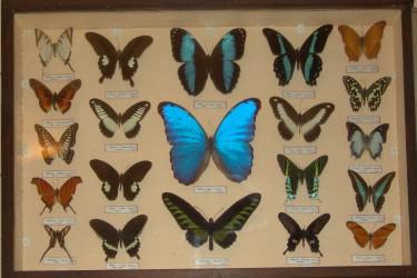 """Fluturi şi gândaci din toate continentele într-o expoziţie la Muzeul de Artă """"Ioan Sima"""" Zalău"""
