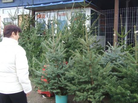 Pe străzile Zalăului a început comerţul cu brazii de Crăciun