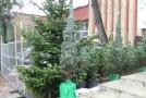 Direcţia Silvică scoate la vânzare brazi de Crăciun