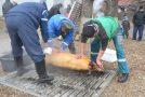 Tradiţia tăiatului porcului, pusă în valoare la Nuşfalău, într-un inedit concurs