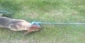 Câine tratat cu cruzime de stăpân: jandarmii au găsit animalul strangulat și plin de răni