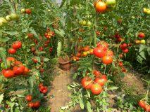 """Patru agricultori din Sălaj primesc subvenţia de 3.000 de euro prin Programul """"Tomate"""""""