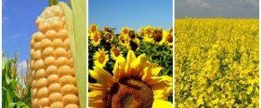 Starea culturilor şi predicţii pentru recolta din acest an în Sălaj