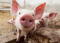 Cazul de pestă porcină din județul vecin, în atenția autorităților municipale