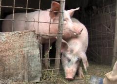 Suspiciune de pestă porcină într-o exploatație din Doh